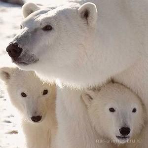 Международный день полярного медведя 2020 - 27 2020 февраля