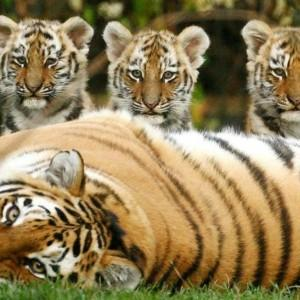 Международный день тигра 2018 - 29 июля