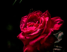Красивая живая роза для тебя