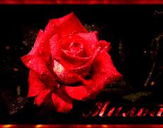 Роза милой