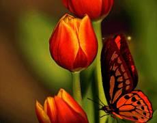 Живые тюльпаны